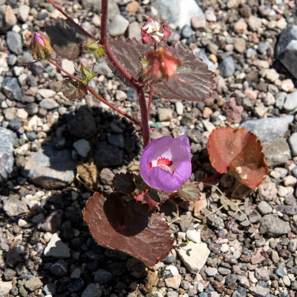 Death Valley - Eremalche rotundifolia