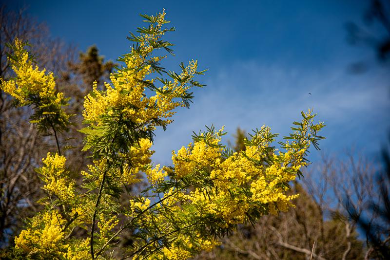 Mimosa en fleur à Saint Guilhem le désert