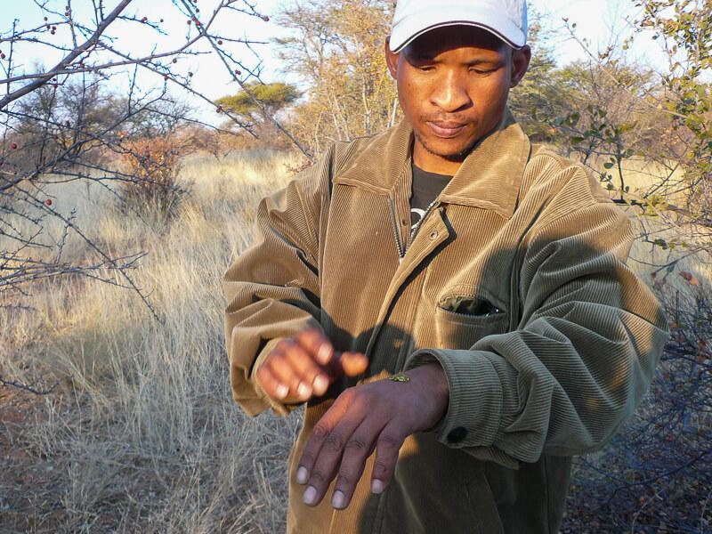 Afrique australe - Botswana, un bushman nous explique les plantes du Kalahari et leurs utilisations
