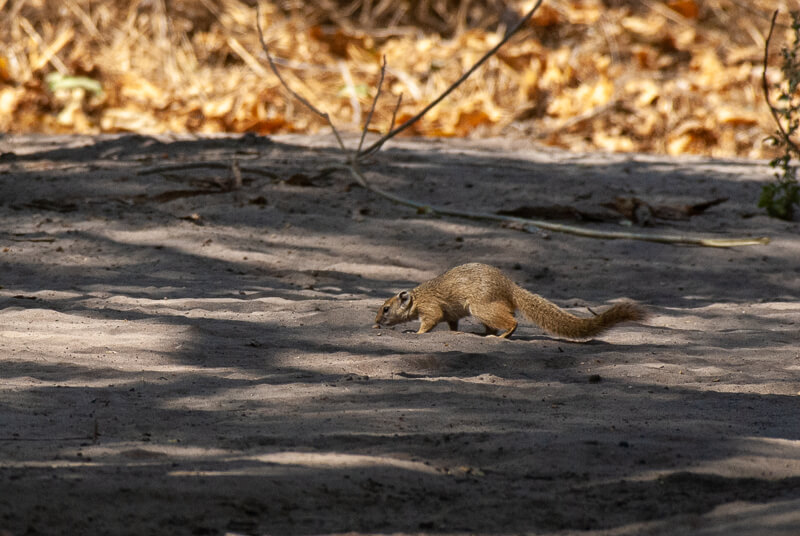 Afrique australe - Botswana. Ecureuil de smith (Paraxerus cepapi) - Smith bush squirrel