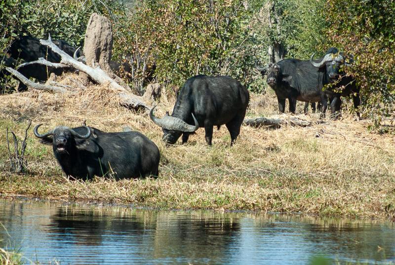 Afrique australe - Botswana. Buffles