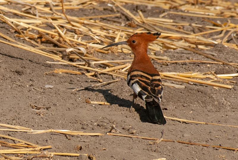 Afrique australe - Botswana. Huppe d'Afrique (Upupa africana) - African Hoopoe