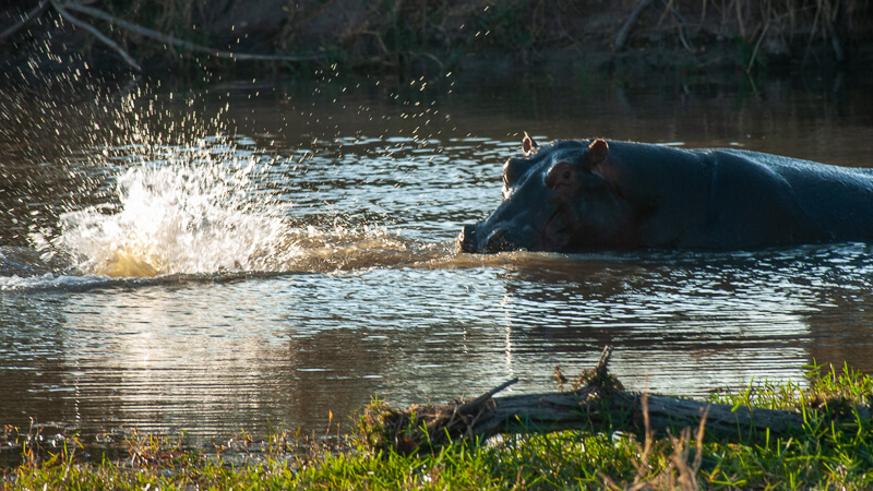 Afrique australe - Botswana. Cette mère hippopotame vient de repousser son bébé un peu violement