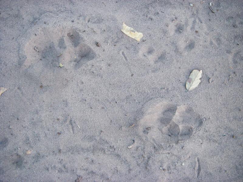 Afrique australe - Botswana. Une hyène est venue visiter nos poubelles cette nuit