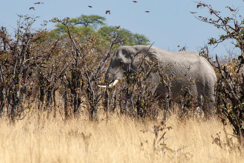 Afrique australe - Botswana. Cet éléphant chasse les oiseaux en s'enfonçant dans le bush