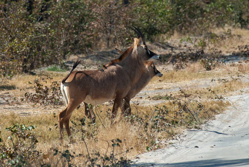 Afrique australe - Botswana. Couple d'antilopes rouannes (Hippotragus equinus) ou antilopes cheval avec leur pique-boeufs