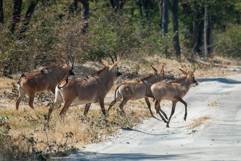 Afrique australe - Botswana. Petit groupe d'antilopes rouannes (Hippotragus equinus) ou antilopes cheval