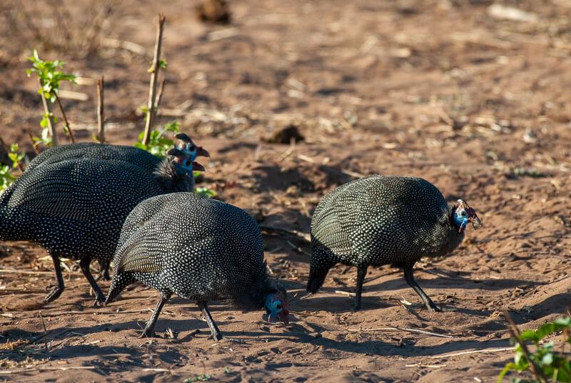 Afrique australe - Botswana, Chobe - Pintade de Numidie Numida meleagris - Helmeted Guineafowl