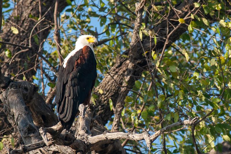 Afrique australe - Botswana, Chobe - Pygargue vocifère (Haliaeetus vocifer)-African Fish Eagle
