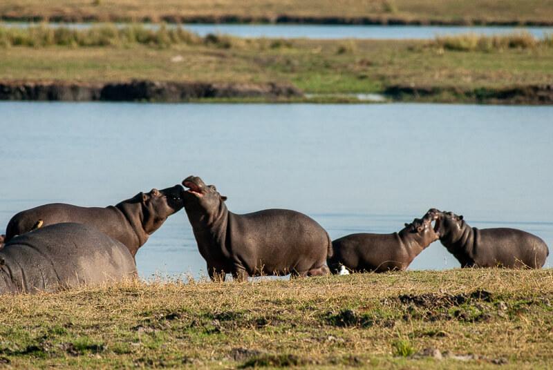 Afrique australe - Botswana, Chobe - Hippopotames