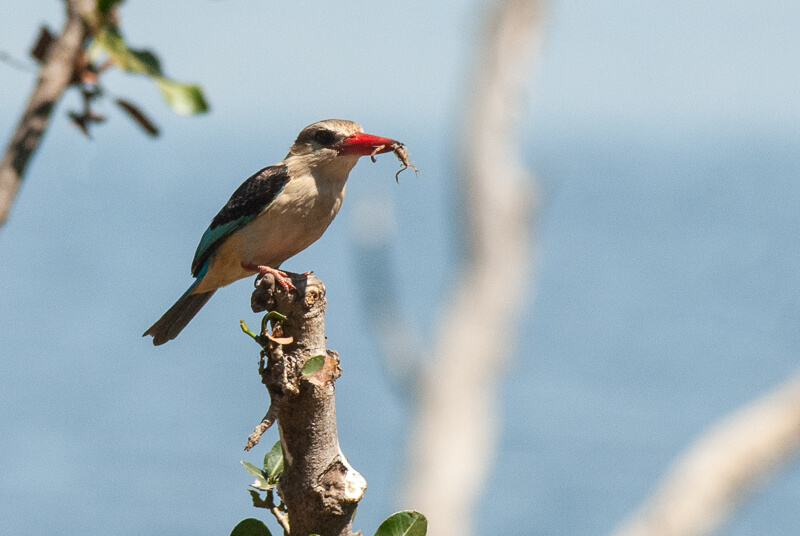 Afrique australe - Botswana, Chobe - Martin-chasseur à tête brune avec scorpion dans le bec (Halcyon albiventris)-Brown-hooded Kingfisher