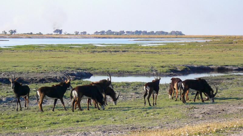 Afrique australe - Botswana, Chobe - hippotragues noirs (Hippotragus niger) ou Antilopes noires