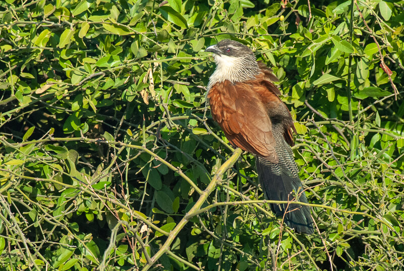 Afrique australe - Botswana, Chobe - Coucal à sourcils blancs (Centropus superciliosus) - White-browed Coucal