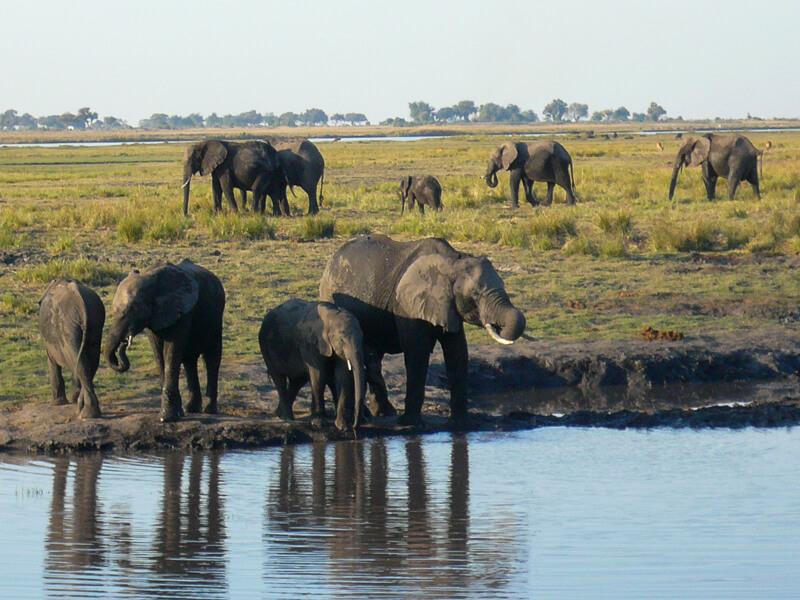 Afrique australe - Botswana, Chobe - groupe d'éléphants