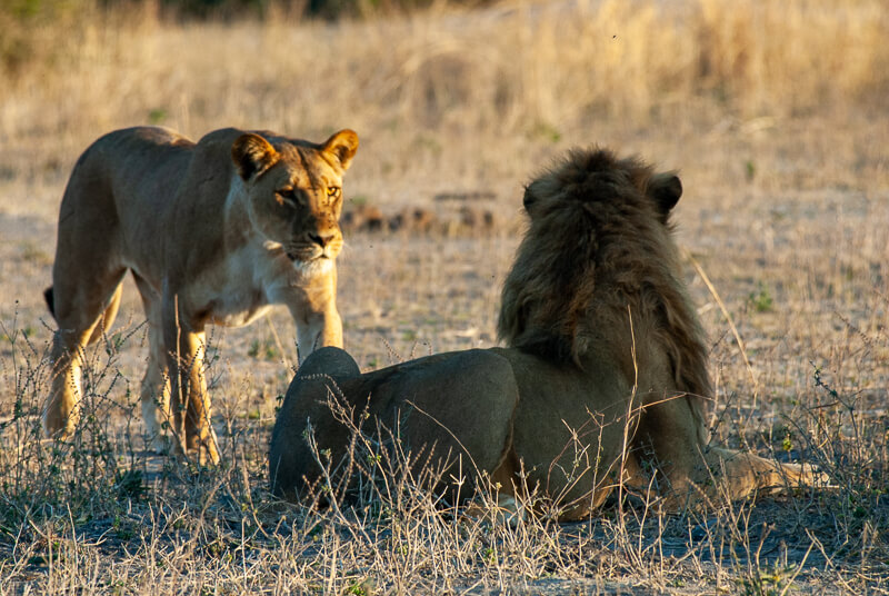 Afrique australe - Botswana, Chobe - lions