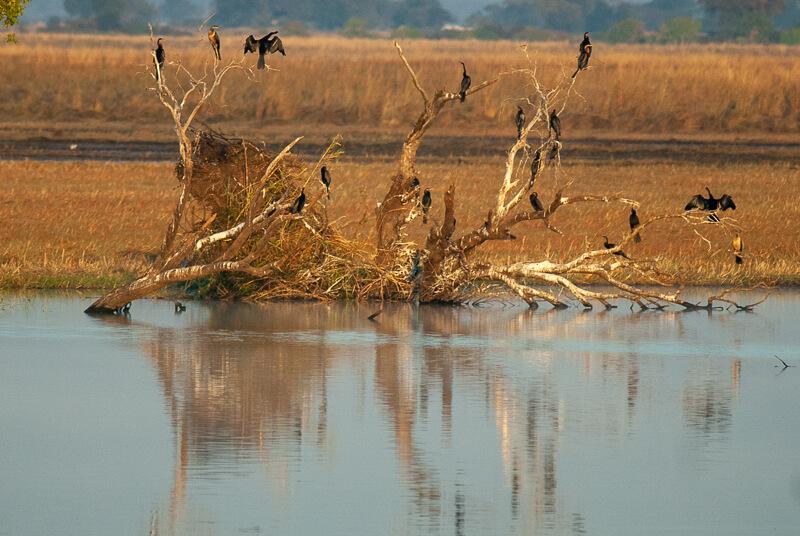 Afrique australe - Chobe, Botswana - Anhinga d'Afrique (Anhinga rufa) -African Darter