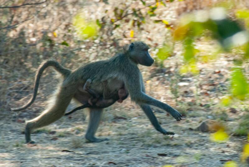 Afrique australe - Zambie, femelle babouin et son petit