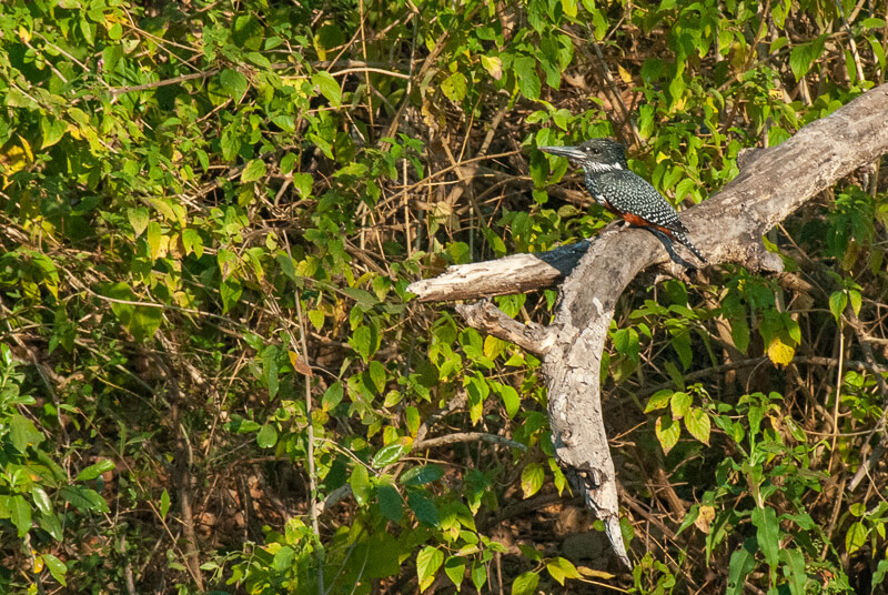 Afrique australe - Zambie, Martin-pêcheur géant (Megaceryle maxima) - Giant Kingfisher