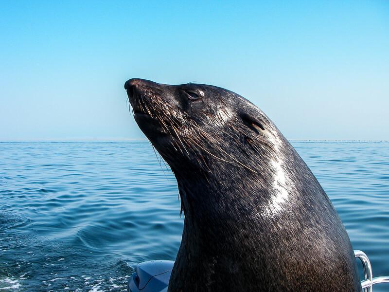 Afrique australe -Namibie au large de Swakopmund, visite d'un gros mâle otarie sur le bateau