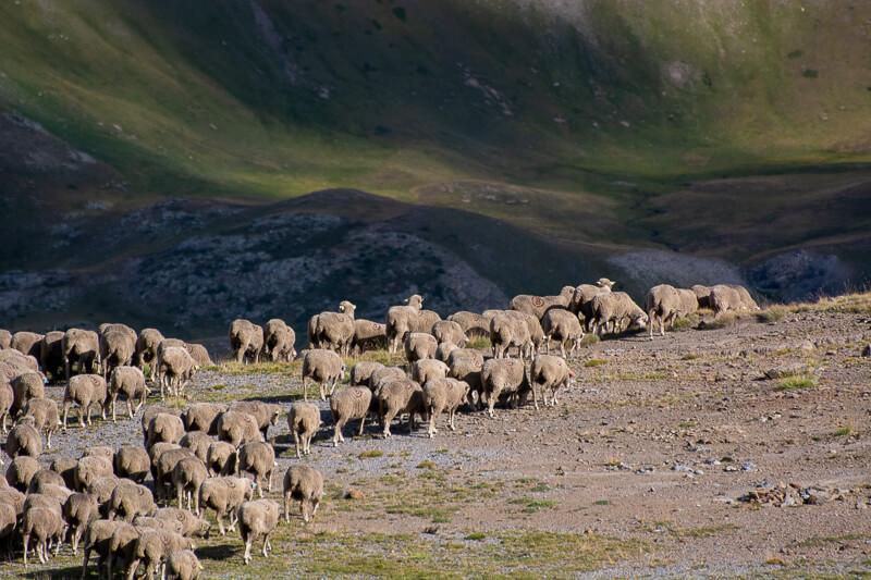 Mercantour, col de la Bonette - troupeau de moutons