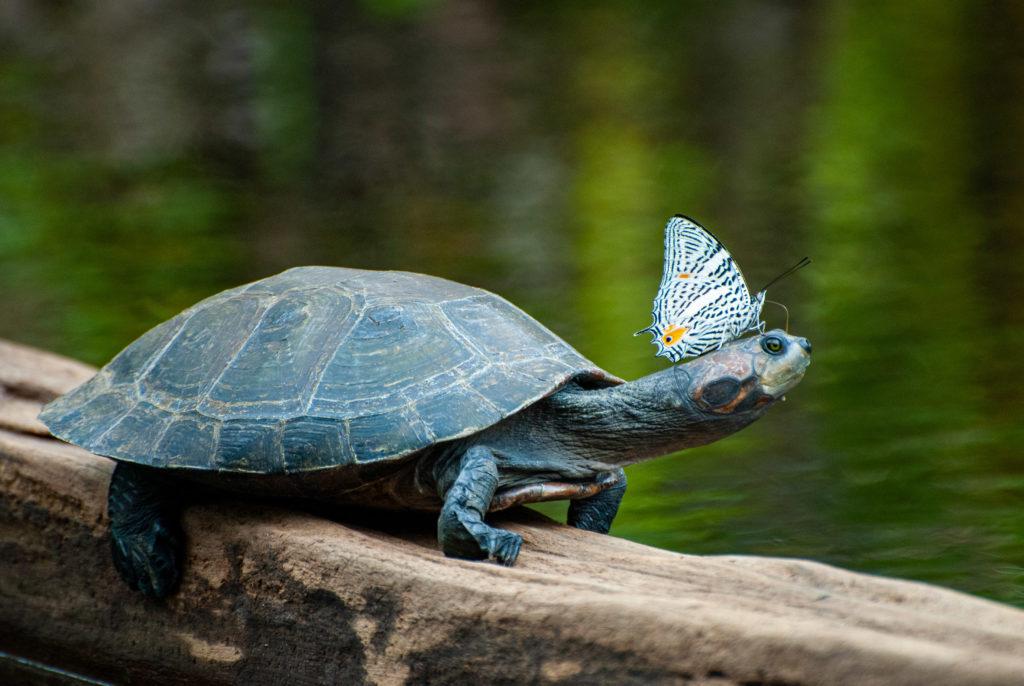 Pérou, Amazonie - la forêt. Papillon buvant les larmes de la tortue pour le sel. Colobura dirce ou la Mosaïque zébrée