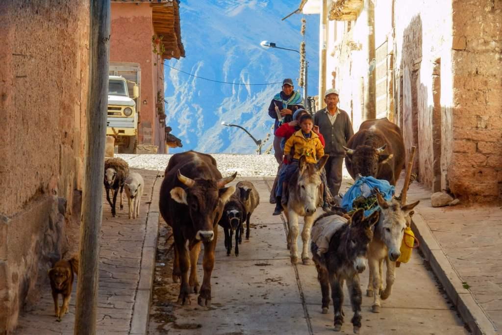 Pérou, Vallée sacrée - Maras, retour de pâturages