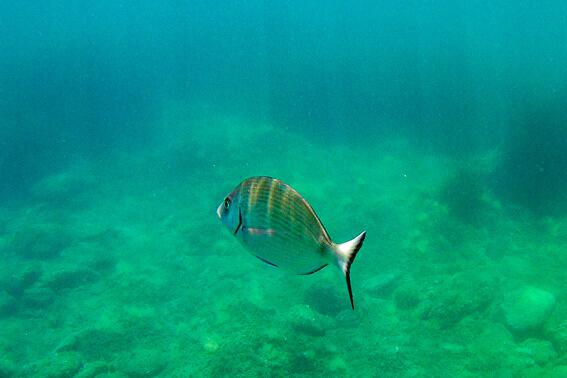 France - Côte Vermeille, plongée dans la réserve du cap Cerbère