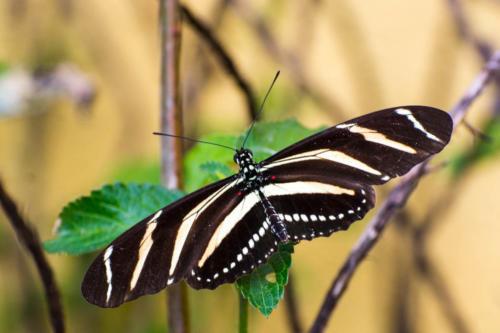 Panajachel, papillon noir et blanc