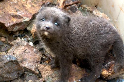 Islande, les mammifères terrestres