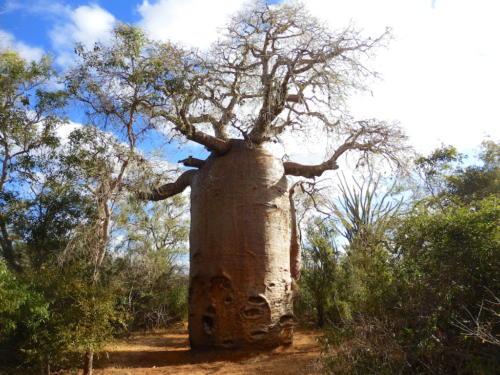Madagascar - baobabs et autres plantes remarquables