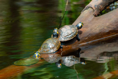 Pérou - reptiles, batriciens, tortues