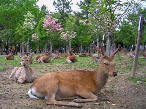 Japon - Nara