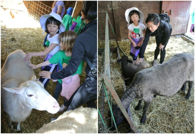 Petting the gentle sheep and goats inside the farm