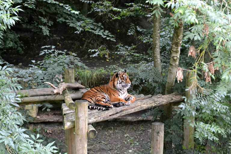 brown and black tiger sitting on brown wooden table during daytime