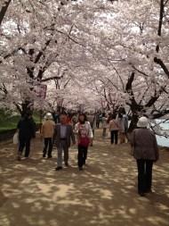 Blossom Tunnel, Hirosaki, Japan