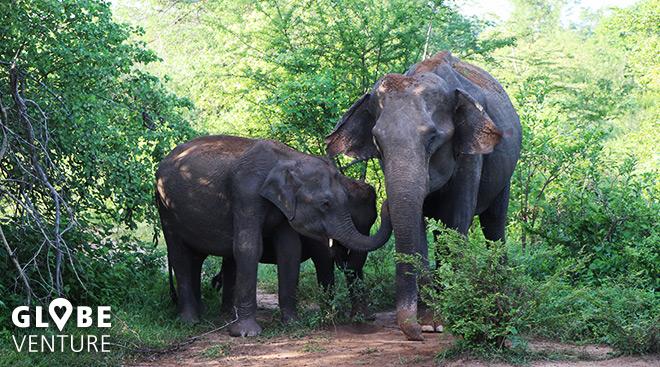 Udalawawe Nationalpark Elefant