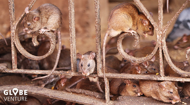 Ratten Karni Mata Tempel Deshnok