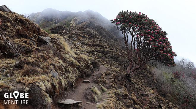 Nepal, Mardi Himal Trek, Rhododendron