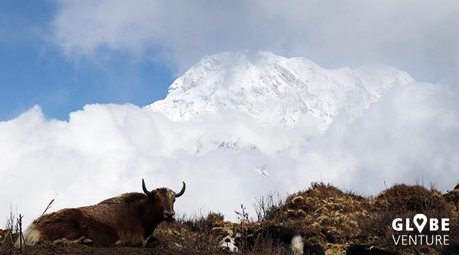 Nepal, Mardi Himal Trek, Yak, Annapurna South