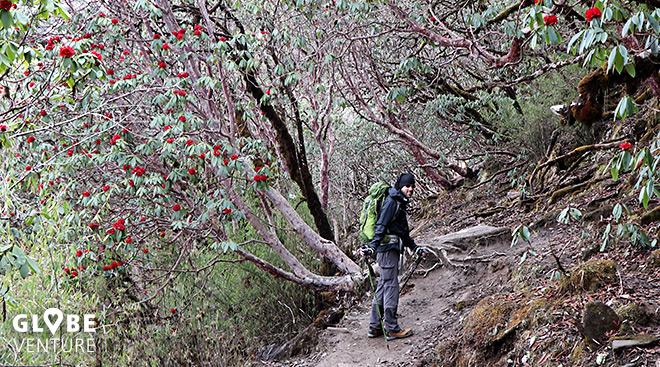 Rododendronwälder Nepal