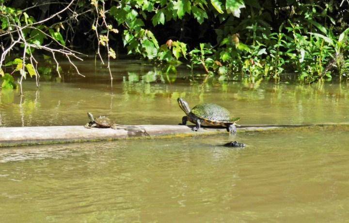 Turtles near Honey Island, Louisiana.