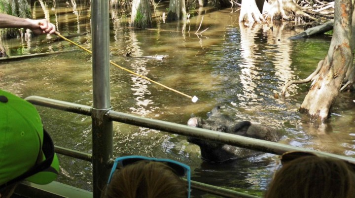 Wild Boar in Honey Island Swamp, Louisiana.