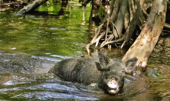 Wild Boar in Honey Island Swamp
