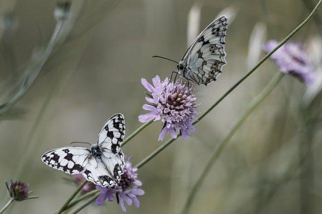 O que significa quando você vê uma borboleta branca? Bons tempos estão vindo