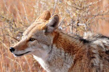 O que significa quando você vê um coiote? Significado e simbolismo