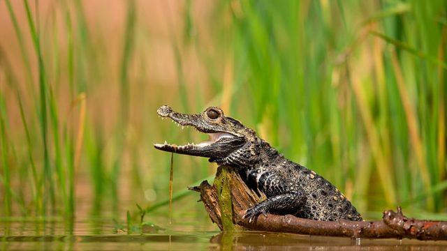 O que significa sonhar com crocodilos? Existe algo perigoso?