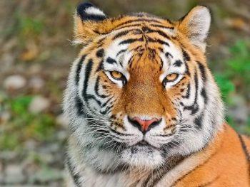 O que um tigre simboliza? Simbolismo e significado do tigre