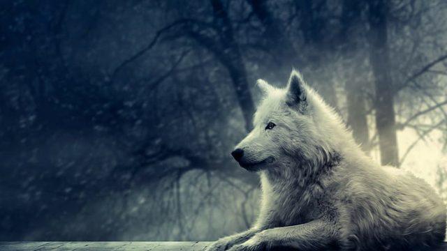 Simbolismo do lobo branco: Bom ou mau sinal para você?