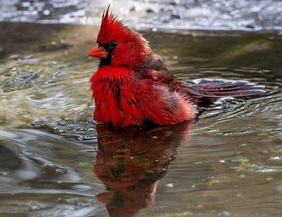 O que significa ver um cardeal vermelho após uma morte? Significado e simbolismo