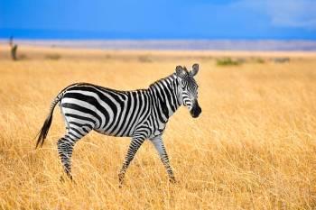 Simbolismo, sonhos e mensagens da zebra